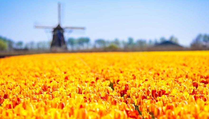 Typisch Holland: Windmühle und Tulpenfeld