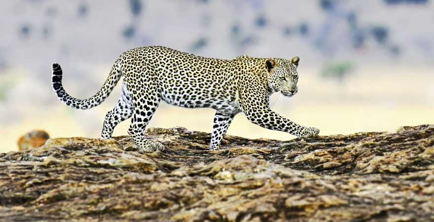 Leopard im Serengeti Nationalpark
