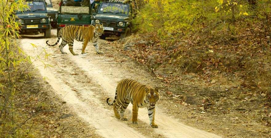 Zwei Tiger auf einem Waldweg in einem Nationalpark in Indien