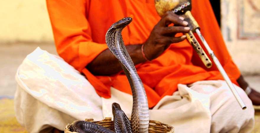 Ein Schlangenbeschwörer in Indien lässt seine Kobra tanzen