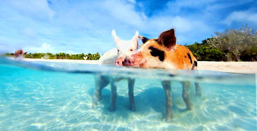 Zwei Schweine baden im Meer
