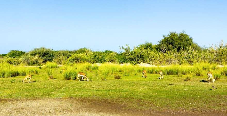 Grasende Antilopen auf Sir Bani Yas Island, Abu Dhabi