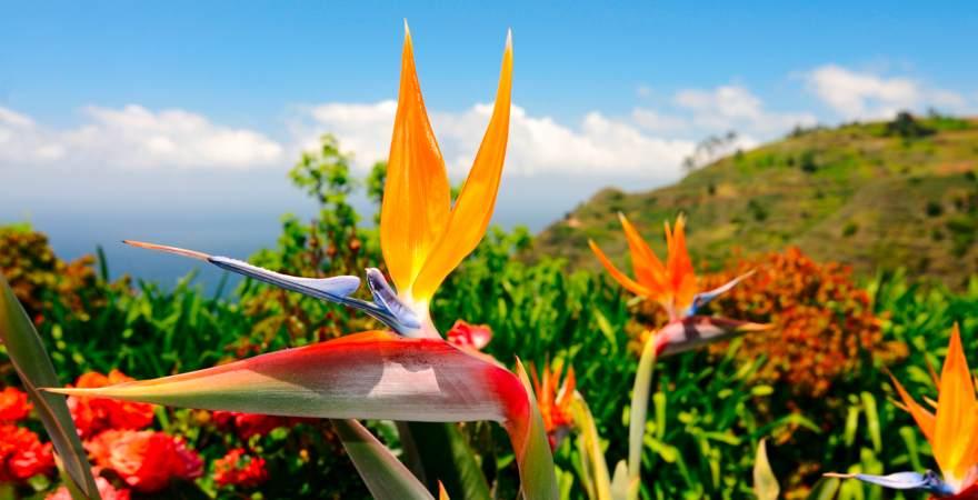 Eine Paradiesvogelblume auf der Blumen Insel Madeira Portugal mit grünen Hügeln