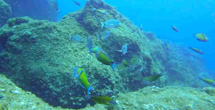 Fische schwimmen unter Wasser in einem Riff vor Madeira Portugal vor der Kamera beim Tauchen